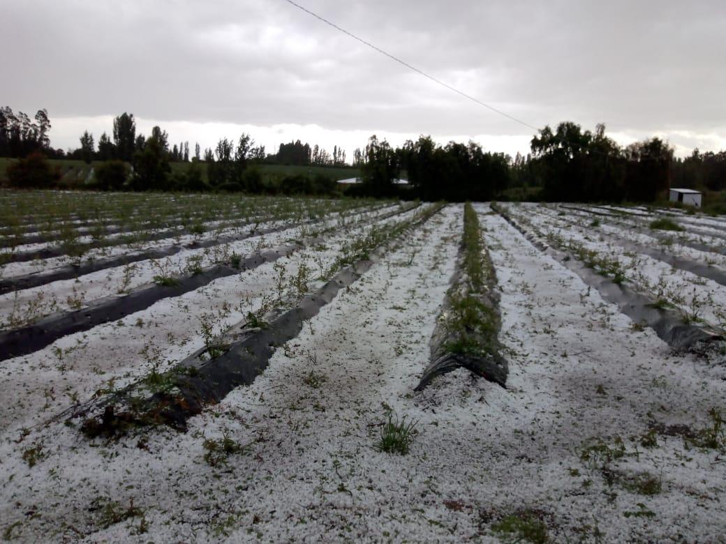 Reportan pérdidas entre USD 120 y 150 millones en sector frutícola chileno tras granizos