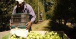Presidente de Asoex destaca apertura del mercado chino para peras chilenas