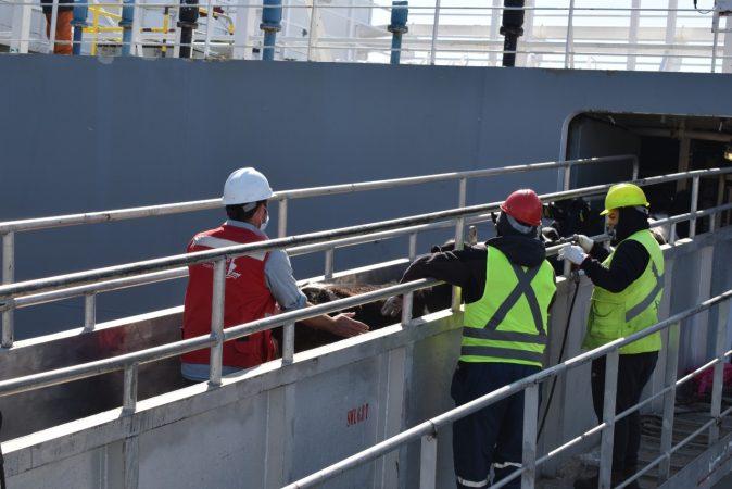 Galería: Talcahuano Terminal Portuario embarca 4.293 vaquillas en pie con destino a China