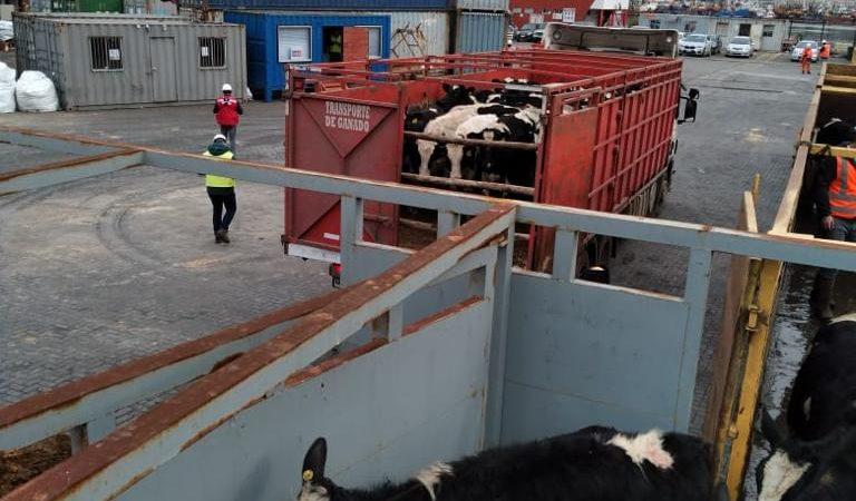 Segundo embarque vaquillas Talcahuano TTP (1)