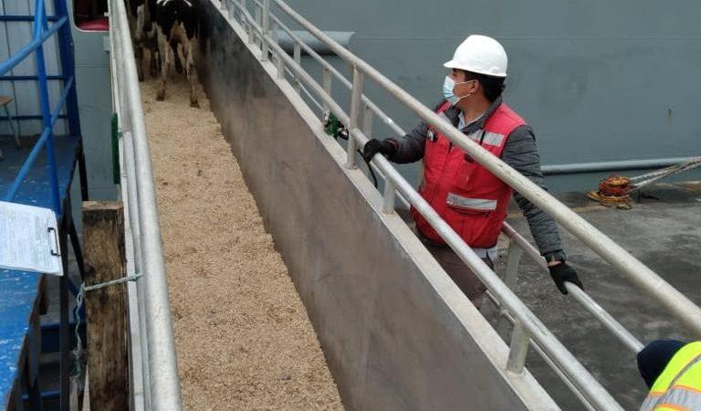 Segundo embarque vaquillas Talcahuano TTP (10)