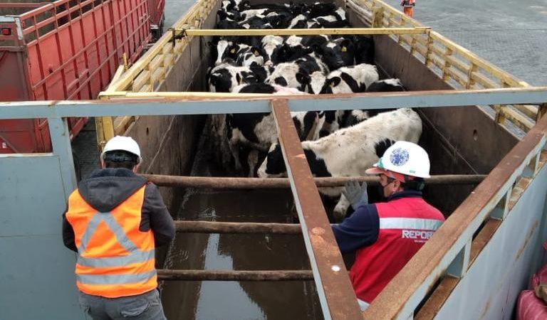 Segundo embarque vaquillas Talcahuano TTP (12)