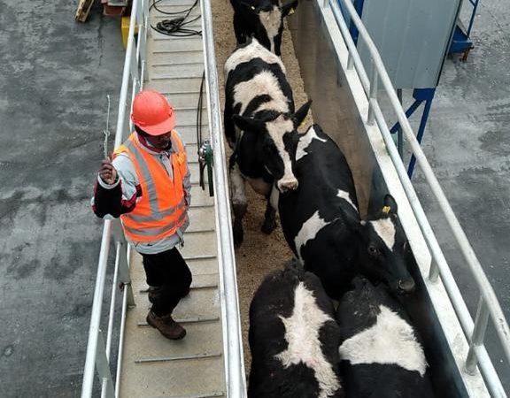 Segundo embarque vaquillas Talcahuano TTP (3)