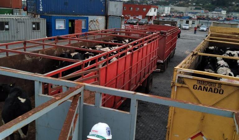 Segundo embarque vaquillas Talcahuano TTP (5)