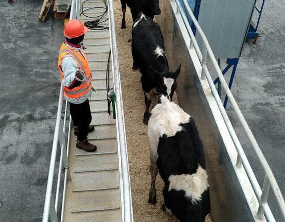 Segundo embarque vaquillas Talcahuano TTP (6)