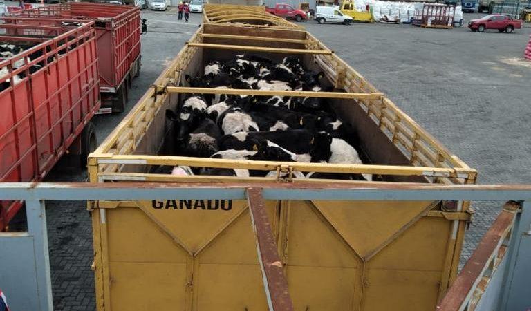 Segundo embarque vaquillas Talcahuano TTP (8)